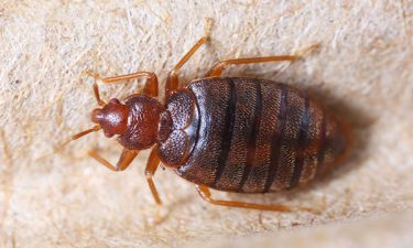 image of bed bug - links to bed bug info page