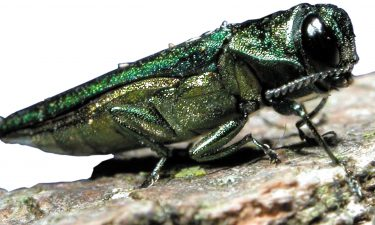 picture of emerald ash borer, links to the info page